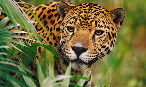 """""""El pago por servicios ambientales es algo por lo que venimos luchando, junto con los gobernantes buscamos acciones concretas que nos permitan conservar a la especie, una de ellas es buscar que el jaguar se convierta en un símbolo nacional, que se identifiquen con él"""""""