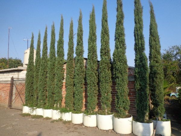 El ayuntamiento de Zinacantepec donó árboles 200 arrayanes y 20 ciprés italianos a la institución educativa para reforzar la campaña.