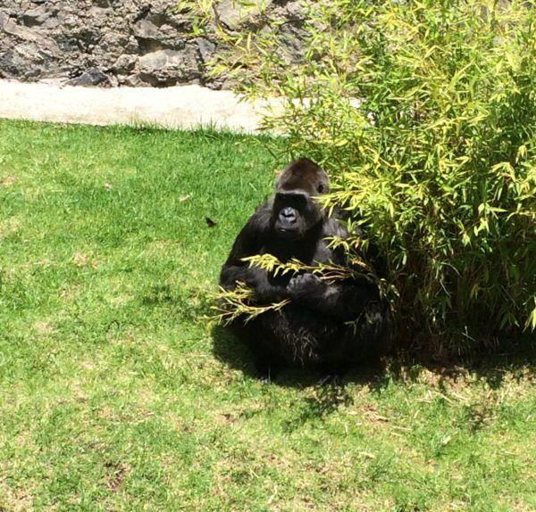 Arila es conocida en el zoológico de Zacango  por ser juguetona, amable con los visitantes y cariñosa con sus cuidadores.